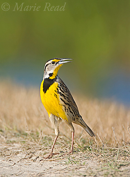 Eastern Meadowlark (Sturnella magna), calling, Florida, USA