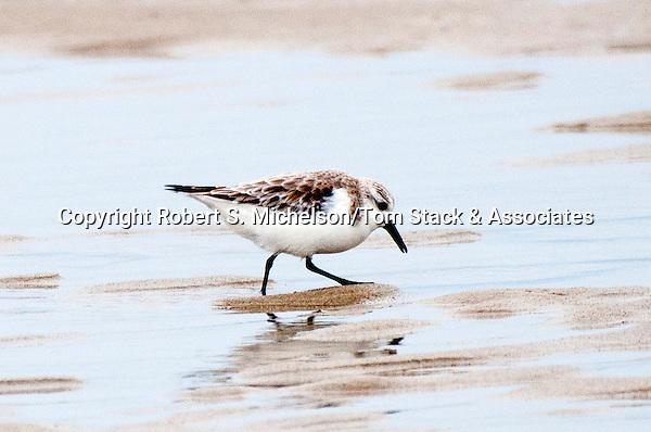 Sanderling feeding on sand flat, South Beach, Chatham, Massachusetts