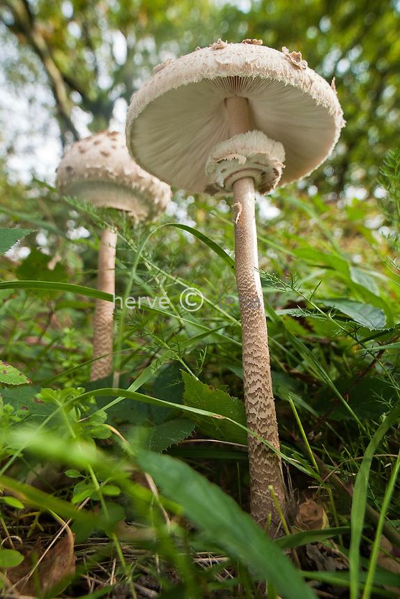 lépiote élevée, ou coulemelle (Macrolepiota procera), parc de la Brenne, France // France, Parc of Brenne, parasol mushroom (Macrolepiota procera)