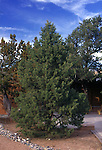 11370-CD Pinyon Pine, Pinus edulis, source of edible pine nuts, in front yard at Sedona, Arizona