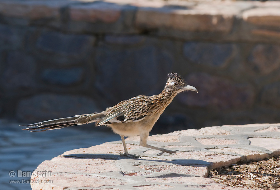 Greater roadrunner, Geococcyx californianus, at Furnace Creek Ranch, Death Valley National Park, California