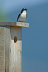 A Tree Swallow perched on the nest and spring singing loudly over the marshlands