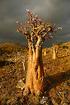.Adenium socotranum with flowers on the Omhill road. Socotra island; Yemen