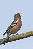 Buchfink, singendes Männchen, Buch-Fink, Fringilla coelebs, Chaffinch, Pinson des arbres