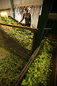 05/09/14 <br /> <br /> The hops are separated from the bines.<br /> <br /> Thanks to ideal growing conditions over the summer, Britain's hop harvest is set to be a bumper crop.<br /> <br /> Picking stopped early yesterday at Stocks Farm, Worcestershire, as the 'Heath Robinson' style 1962 Bruff hop picking machine was overwhelmed by the volume of hops coming in from the 100 acres of hops the farm grows.<br /> <br /> The golding hops are the first to picked this year from the bines that are strung up on a total of 550 miles of twine that stretch across the farmland near the Malvern Hills. &quot;That's enough to make 46m pints of craft ale&quot; said farmer and hop expert Ali Capper.<br /> <br /> The farm grows a variety of hops supplying national brewers including Fullers, Greene King, St Austell and Marston's, and hundreds of craft breweries and brewers in the UK and USA.<br /> <br /> &quot;We've had perfect growing conditions this year, a lovely warm summer and even rainfall. The whole crop is looking wonderful and the aromas are much better than last year,<br /> <br /> &quot;It should be a bumper crop - but we can't be sure until it's all in&quot;<br /> <br /> &quot;The demand from small brewers is rising each year&quot; added Ali<br /> <br /> &quot;This year we'll be selling 100 gram bags for home brewers too - that's enough to brew at least 20 pints. <br /> <br /> In 2013 almost half of all British hops were exported to to the USA - and this figure is still rising&quot; she said.<br /> <br /> All Rights Reserved - F Stop Press.  www.fstoppress.com. Tel: +44 (0)1335 300098