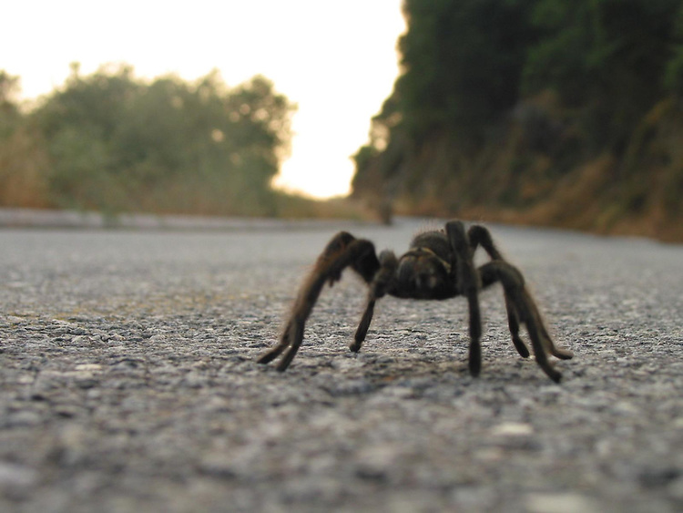 Tarantula on road in the Sierra mountains