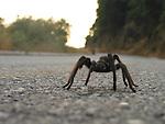 Tarantula on road in the Sierra mountains