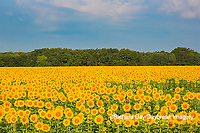 63801-07419 Sunflower field Sam Parr State Park Jasper County, IL