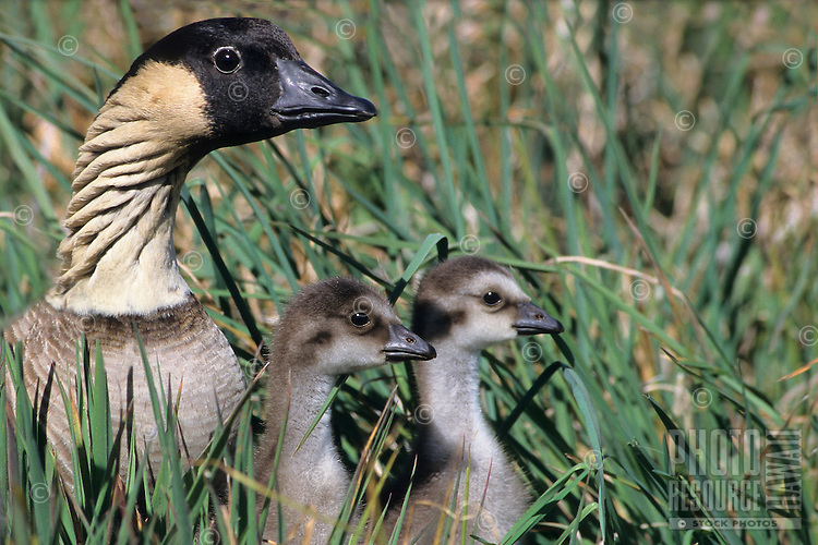 A nene (or Hawaiian goose, or Branta sandvicensis) with two goslings in tall grass, Hawai'i.