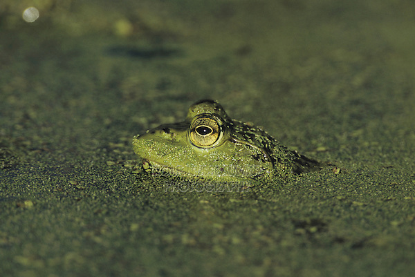 Bullfrog (Rana catesbeiana), adult camouflaged in duckweed (Lemnaceae), Sinton, Coastel Bend, Texas, USA