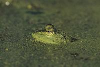 Bullfrog (Rana catesbeiana), adult camouflaged in duckweed (Lemnaceae), Sinton, Coastel Bend, Texas, USA