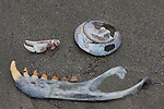 jaw of CA sea lion and shells at Ano Nuevo State Park