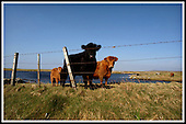 Calf and cattle, Bornish, South Uist .... Picture by Donald MacLeod