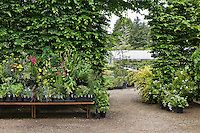 Entrance to Digging Dog Nursery, display shelves backed by Hornbeam hedge (Carpinus betulus)