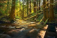 The trees in this old growth forest in the Columbia Gorge shatter the early morning light onto a pictureque creek. The haze from distant wildfires made the light especially diffuse this particular morning.