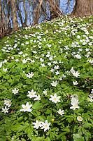 Busch-Windröschen, Buschwindröschen, Blütenteppich im Frühjahr, Anemone nemorosa, Wind Flower, Wood Anemone, Wind-Flower, Wood-Anemone, Frühjahrsblüher