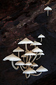 White toadstools growing out of dead tree, Maliau Basin, Sabah's 'Lost World', Borneo.