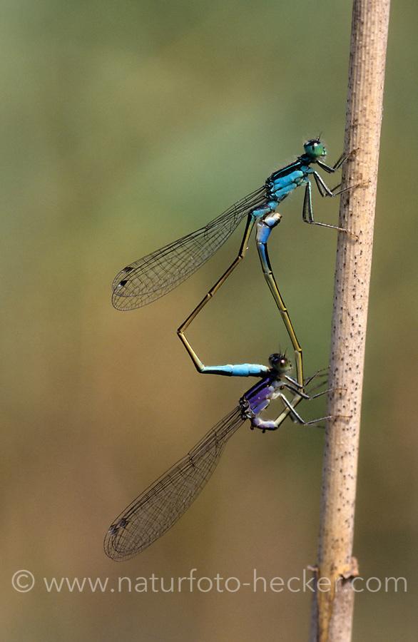 Große Pechlibelle, Paarungsrad, Paarung, Kopulation, Kopula, Pech-Libelle, Ischnura elegans, common ischnura, blue-tailed damselfly, Common Bluetail, pairing, copulation, Agrion élégant