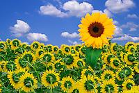 Sunflower facing opposite others in field, Frankort, Kentucky