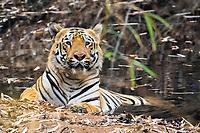 Bengal tiger, Panthera tigris tigris, taking bath, Tadoba Andhari Tiger Reserve, Tadoba Andhari National Park, Chandrapur, Maharashtra, India