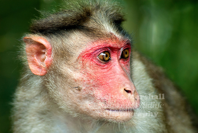 Indian Stump-tailed macaque, also known as Bear macaque, is known by the scientific name of Macaca arctoides. It can reach upto a length of 70 cm, at the maximum, excluding the tail that may grow upto 8 cm in length. Indian Stump-tailed macaques weigh 6 to 13 kg and may live as long as 30 years.