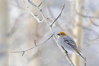Perched on the branch of a balsam poplar tree in winter.