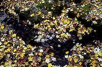 AU13-006a  Autumn leaves along stream