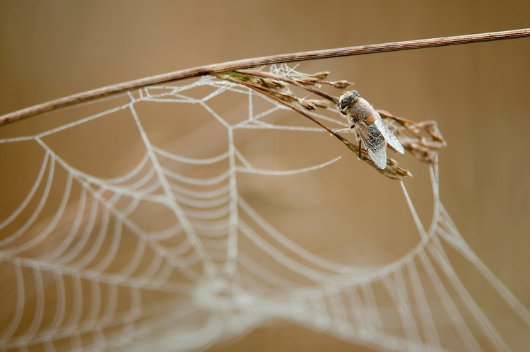 Bee, dormant in early morning mist, sat on hard rush (juncus inflexus) with spiders web in Hay Meadow - Clattinger farm, Wiltshire