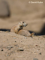 0601-1013  Young Black-tailed Prairie Dog Pups Wrestling, Cynomys ludovicianus  © David Kuhn/Dwight Kuhn Photography