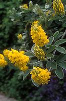 Cytisus battandieri in yellow flower