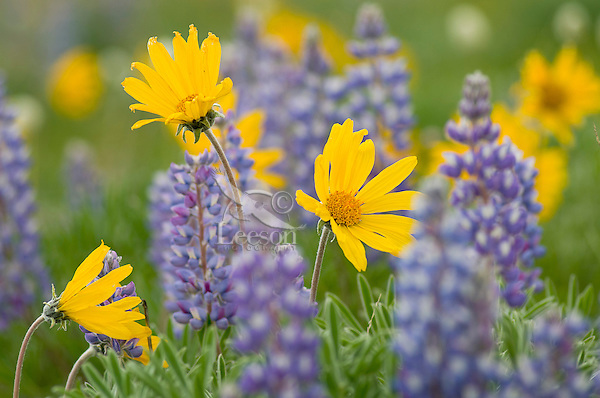 Arrowleaf balsamroot and lupine, Pryor Mountains, Wyoming.