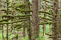 Moss covered branches in the temperate coastal rainforest of Kodiak Island, Alaska.