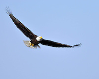 Bald Eagle in flight, Llano, TX