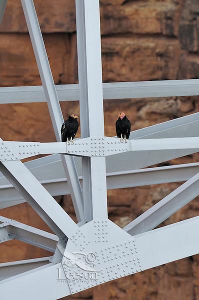 California Condor (Gymnogyps californianus) sitting on Navajo Bridge across Marble Canyon (Colorado River), Grand Canyon National Park, Arizona.