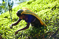 Picking tea in a sea of luminous green. (Photo by Matt Considine - Images of Asia Collection)