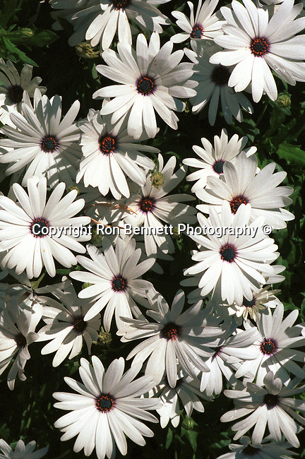 Daisy, asteraceae, compositae, aster, daisy, sunflower family, common daisy, bellis perennis, archetypal species California, West Coast of US, Golden State, 31st State, California, Fine Art Photography by Ron Bennett, Fine Art, Fine Art photography, Art Photography, Copyright RonBennettPhotography.com ©