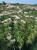HEMP-AGRIMONY Eupatorium cannabinum (Asteraceae) Height to 1.5m. Tall, upright and downy perennial that grows mainly in damp grassland and marshes, but (perhaps surprisingly) also in scrub on chalk. FLOWERS are dull pinkish lilac; borne in heads, 2-5mm across, comprising 5-6 florets, in rather dense, terminal clusters (Jul-Sep). FRUITS are 1-seeded with pappus hairs. LEAVES are trifoliate and borne in opposite pairs up the stem.