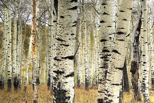 Aspen trees at Kolob Terrace near Zion National Park, Utah