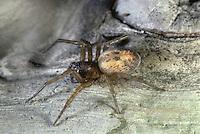 Lace-weaver Spider - Amaurobius similis