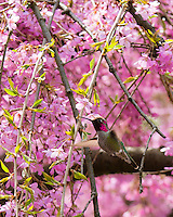 Annas Hummingbird feeding on cherry tree blossoms in early Spring at the Portland Japanese Garden in Portland, OR