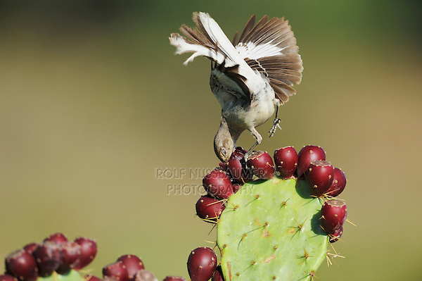 Northern Mockingbird (Mimus polyglottos), adult feeding on Texas Prickly Pear Cactus (Opuntia lindheimeri) tuna, Dinero, Lake Corpus Christi, South Texas, USA