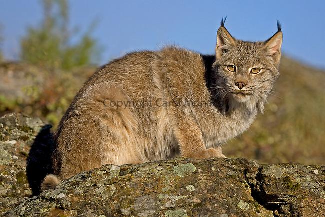 Canada lynx sitting on a rock against the blue sky, Montana, North America