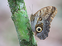 The owl butterfly is one of the largest butterflies in the Costa Rican jungle.  It uses its large eye pattern to intimidate potential predators.