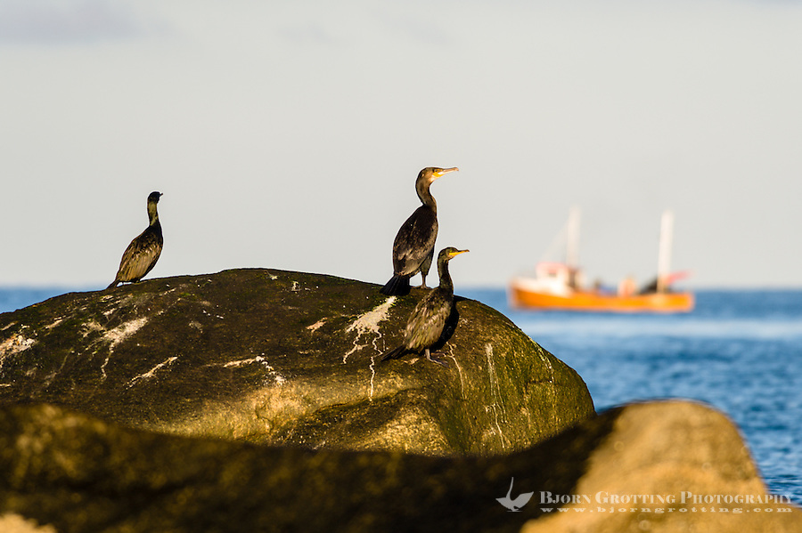 Norway, Klepp. Great Cormorants on a rock at Sele.