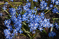Chionodoxa forbesii spring flowering bulb in blue bloom in March
