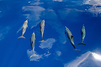 pantropical spotted dolphin (Stenella attenuata, Chichi-jima, Bonin Islands, Ogasawara Islands, Natural World Heritage Site, Tokyo, Japan, Pacific Ocean