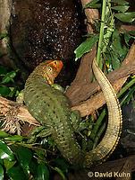 0522-1004  Northern Caiman Lizard (Guyana Caiman Lizard) Climbing in Tree, Dracaena guianensis  © David Kuhn/Dwight Kuhn Photography