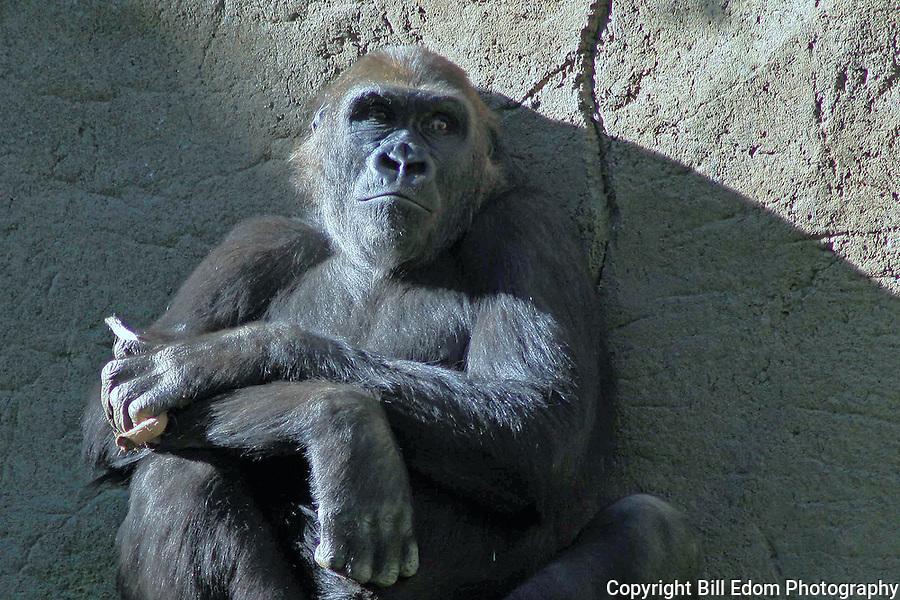 Daydreaming Gorilla.