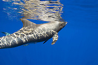 pygmy killer whales, Feressa attenuata, off Kona Coast, Big Island, Hawaii, Pacific Ocean..