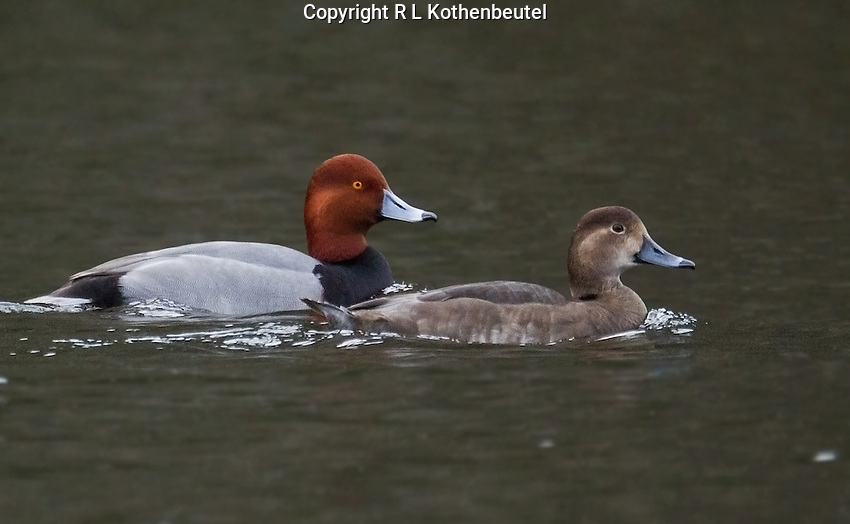 Breeding pair of redheads swimming across a quiet pond prior to nesting season.<br />